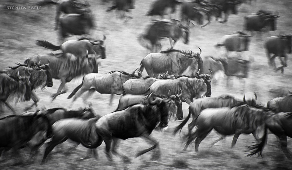 Photograph Wildebeest run by Stephen Earle on 500px