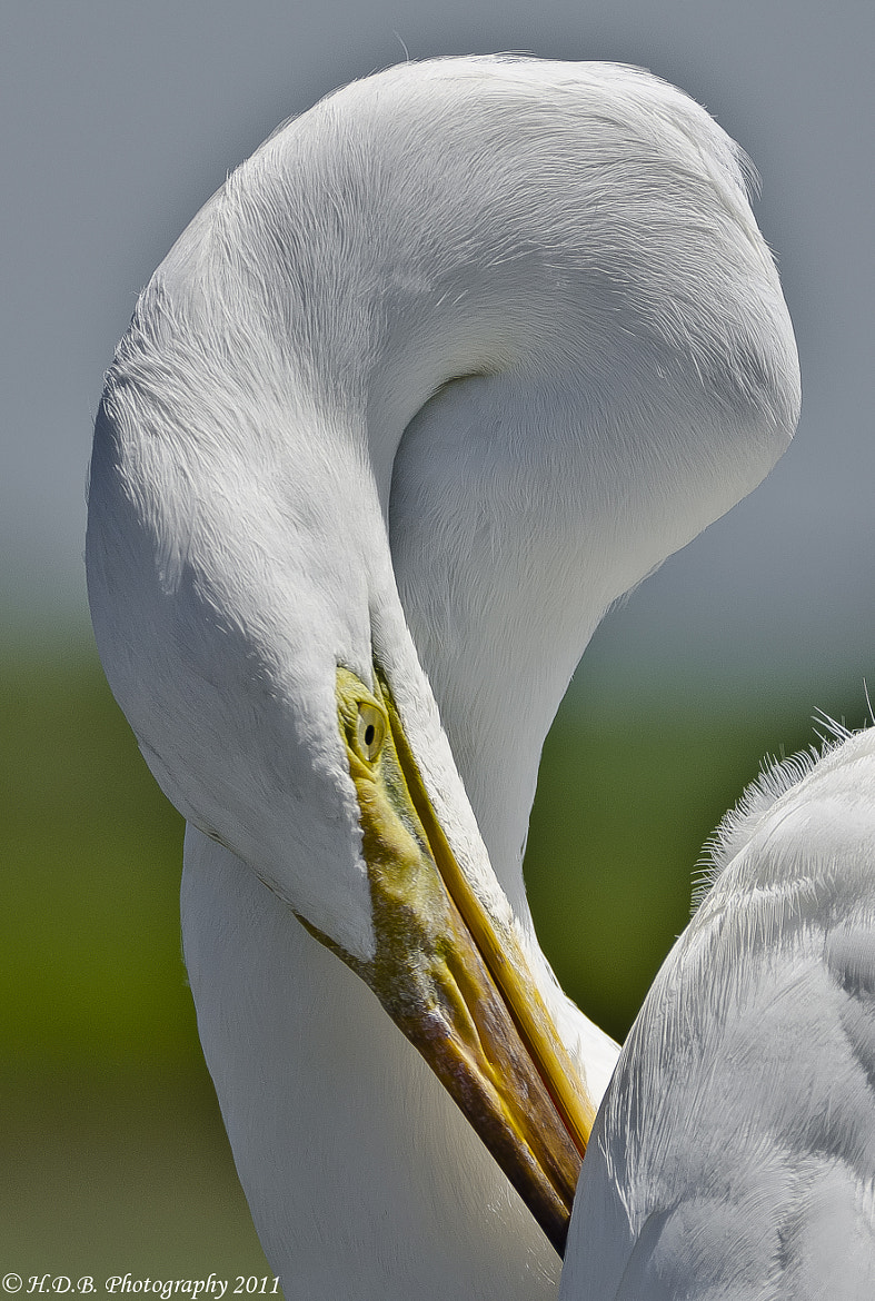 Photograph The Great Egret by Harold Begun on 500px