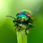 A Tansy Beetle coming out of 'the green'.
