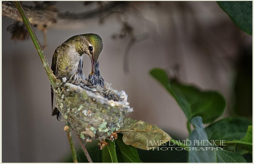 Anna's Hummingbird Series