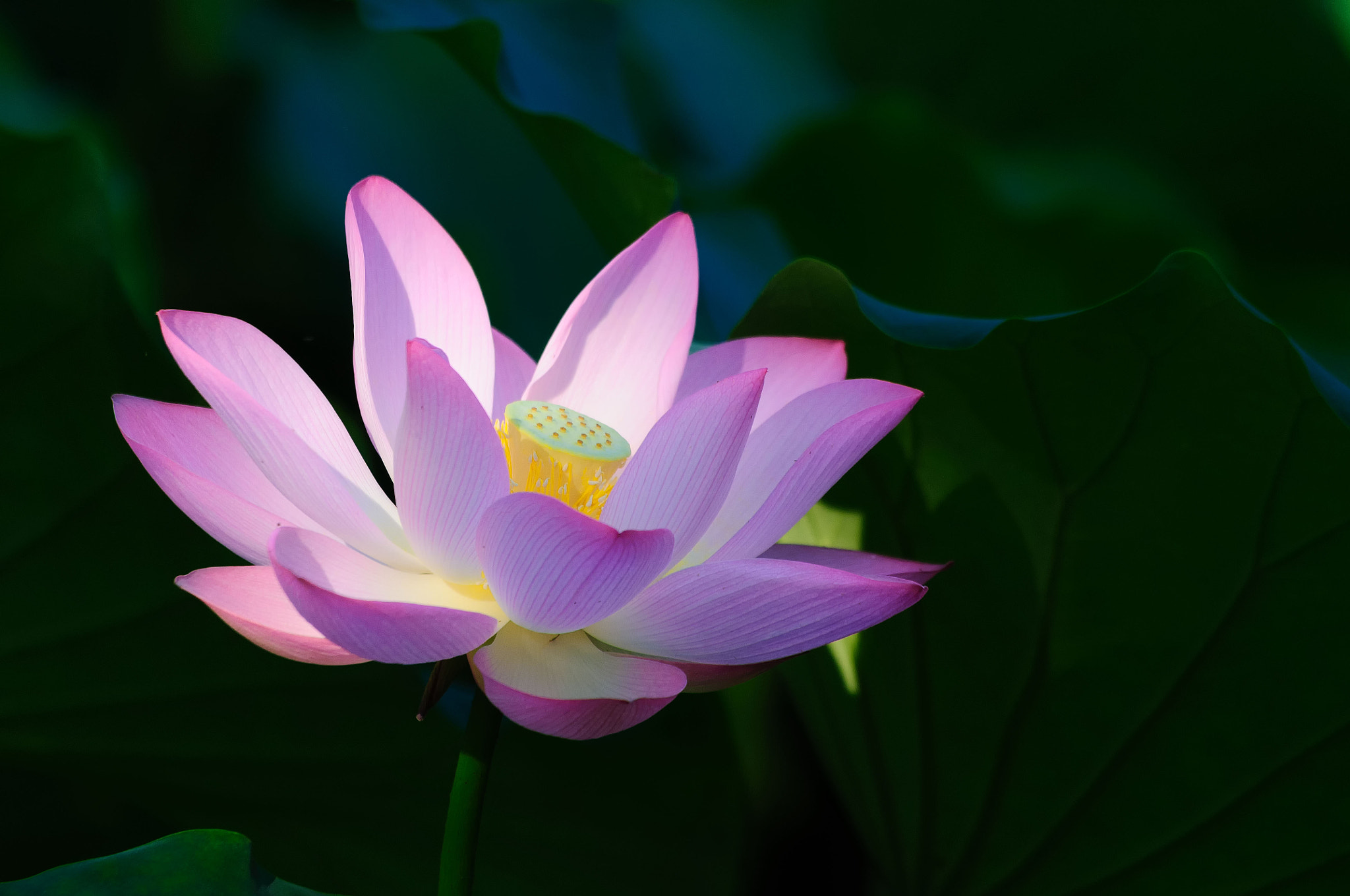 Photograph Lotus by Andy Chui on 500px