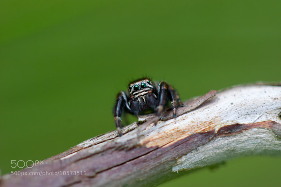 Heath Jumping Spider by Max Brown (max_wildlife) on 500px.com
