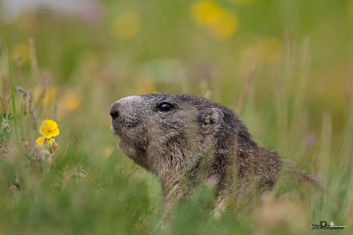 "Photograph Marmot ""in grass"" by Massimo Dadone on 500px"