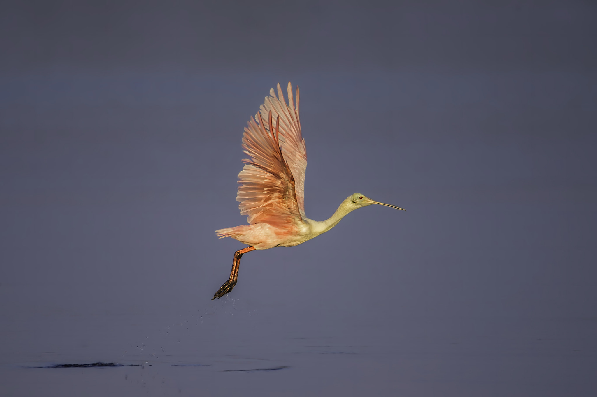 Photograph Spoonbill Liftoff by Daniel Parent on 500px