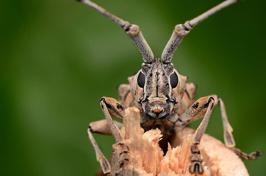 Photograph longhorn beetle by Simon Shim on 500px