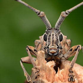 longhorn beetle by Simon Shim (simonshim)) on 500px.com