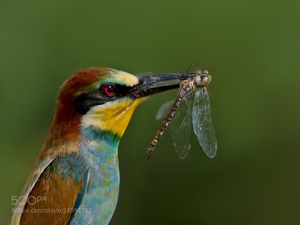 Photograph Bee-eater by Zoltán Túri on 500px