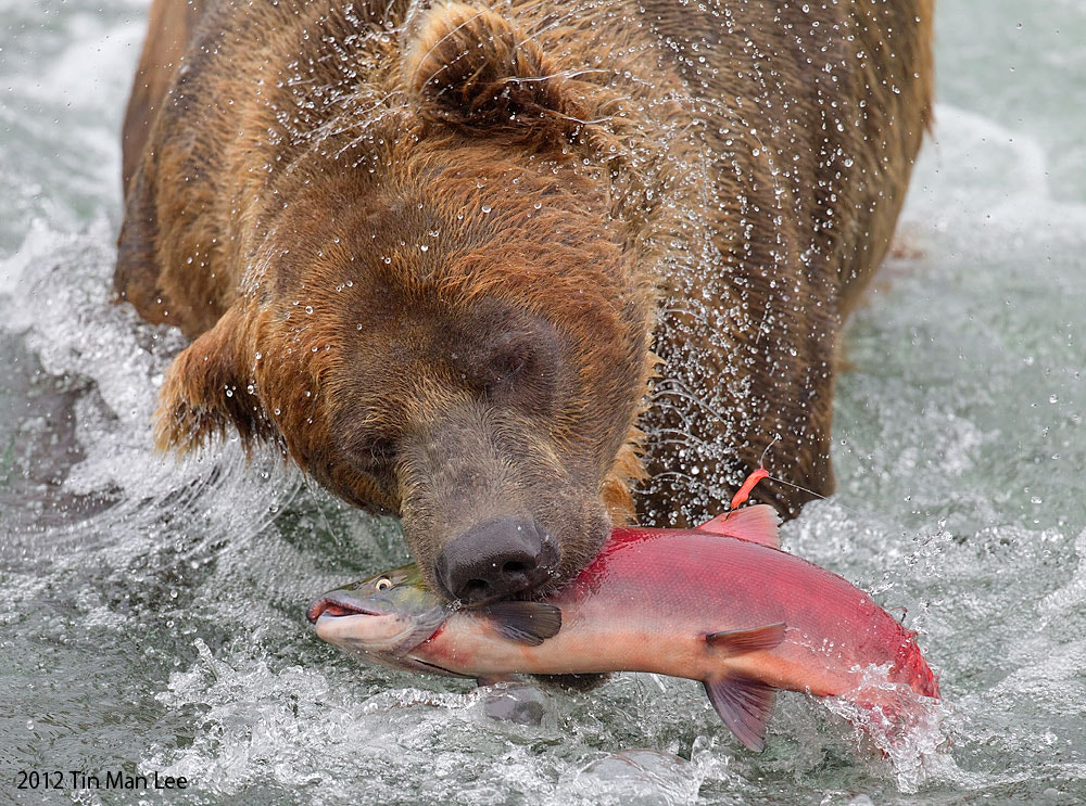 Photograph Bear Catching Salmon by Tin Man on 500px