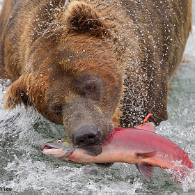 Bear Catching Salmon by Tin Man (tinman)) on 500px.com