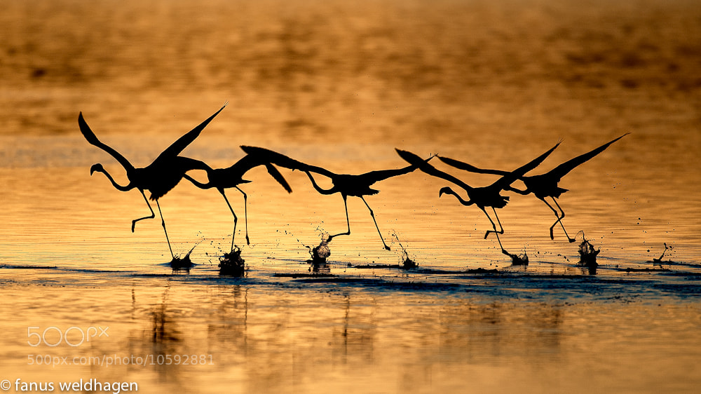Photograph Flamingo Take-off by Fanus Weldhagen on 500px