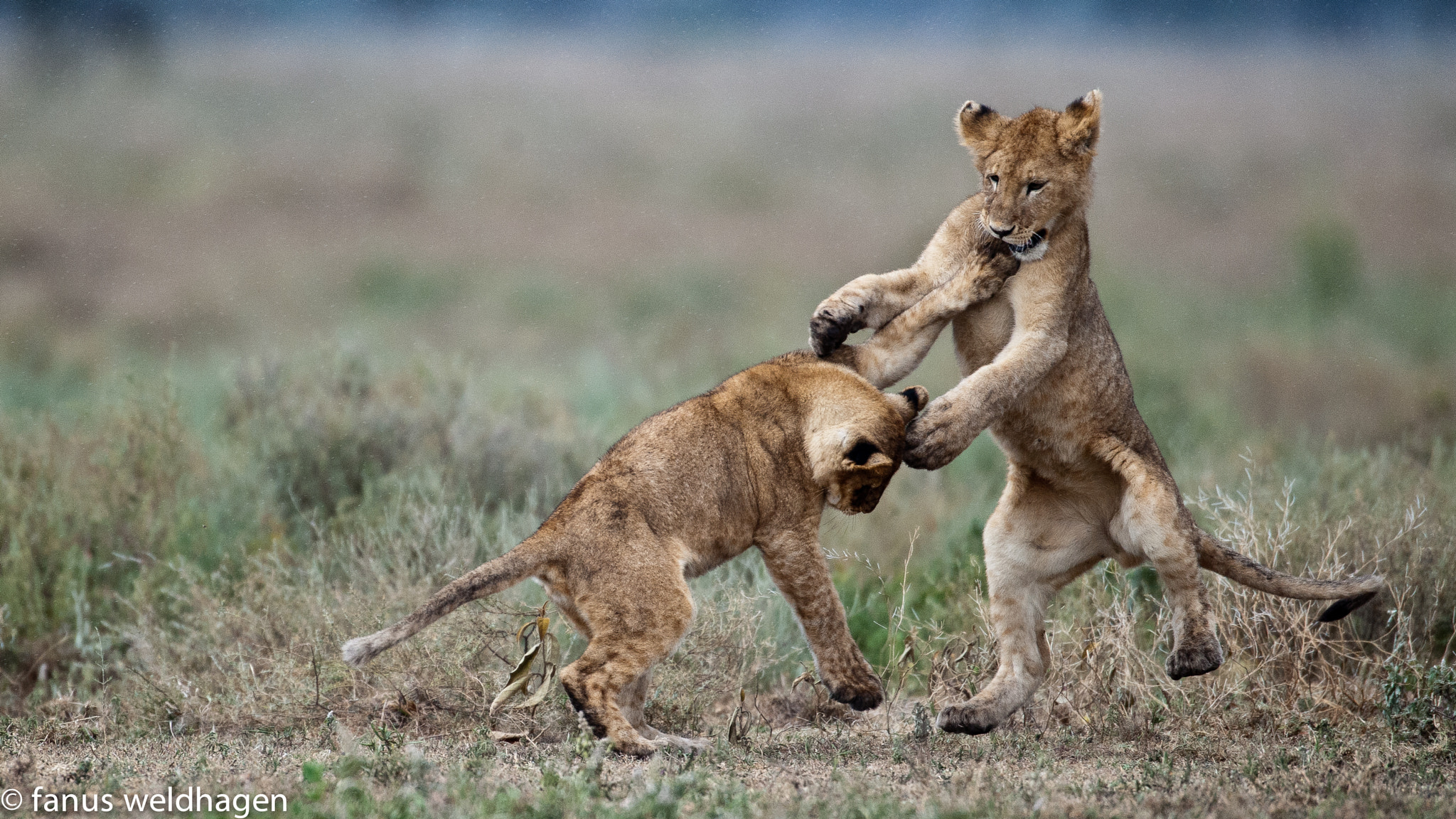 Photograph Playfighting Lion Cubs by Fanus Weldhagen on 500px