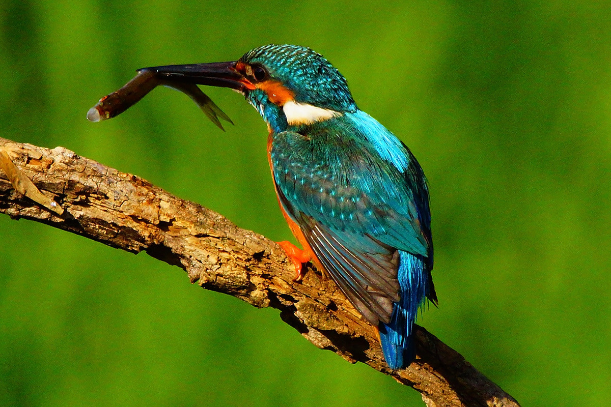 Photograph Kingfisher by Young Sung Bae on 500px