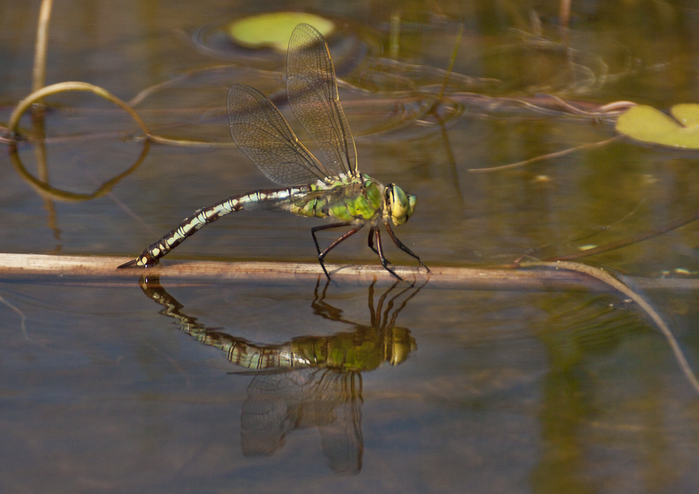 Photograph Southern Hawker Dragonfly - Female (Aeshna cyanea) by Ray Jones on 500px