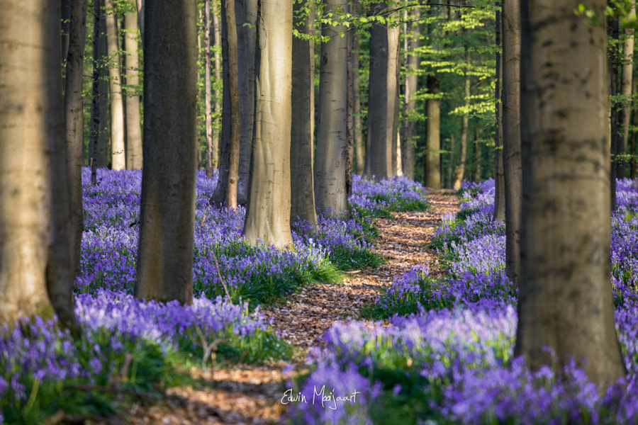 Photograph Path in the bluebells by Edwin Mooijaart on 500px
