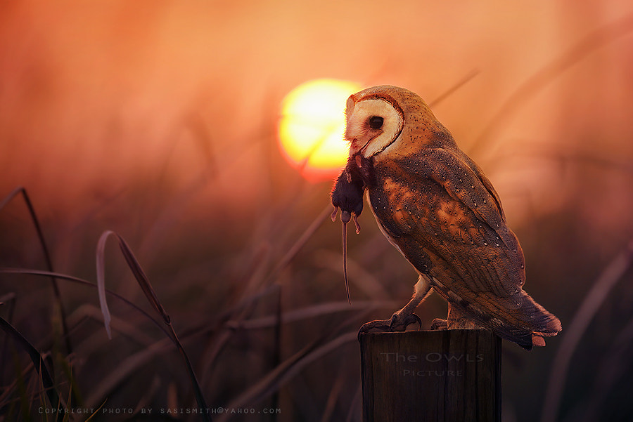 Photograph FB/The Owls Picture by Sasi - smit on 500px