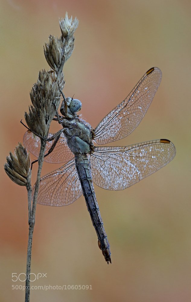 Photograph dragonfly by ivo pandoli on 500px