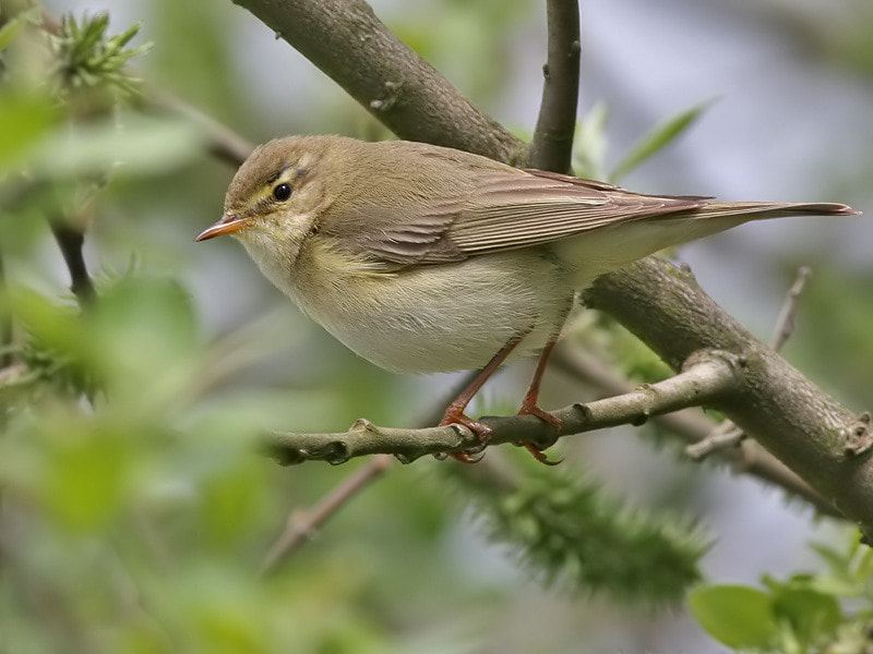 Photograph Willow Warbler by Aat Bender on 500px