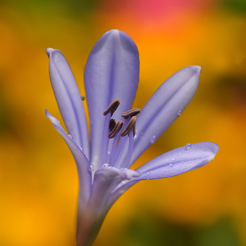Photograph Lily of the Nile Agapanthus by Franco Mottironi on 500px