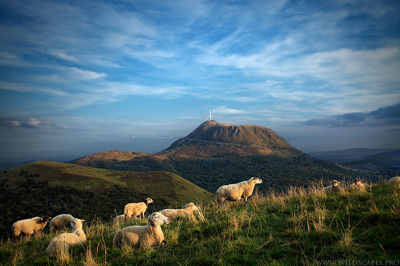 Photograph Sheep Relaxing by Maxime Courty on 500px