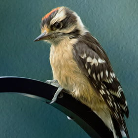 Flowing Downy Woodpecker by Bill Tiepelman (oddballz)) on 500px.com