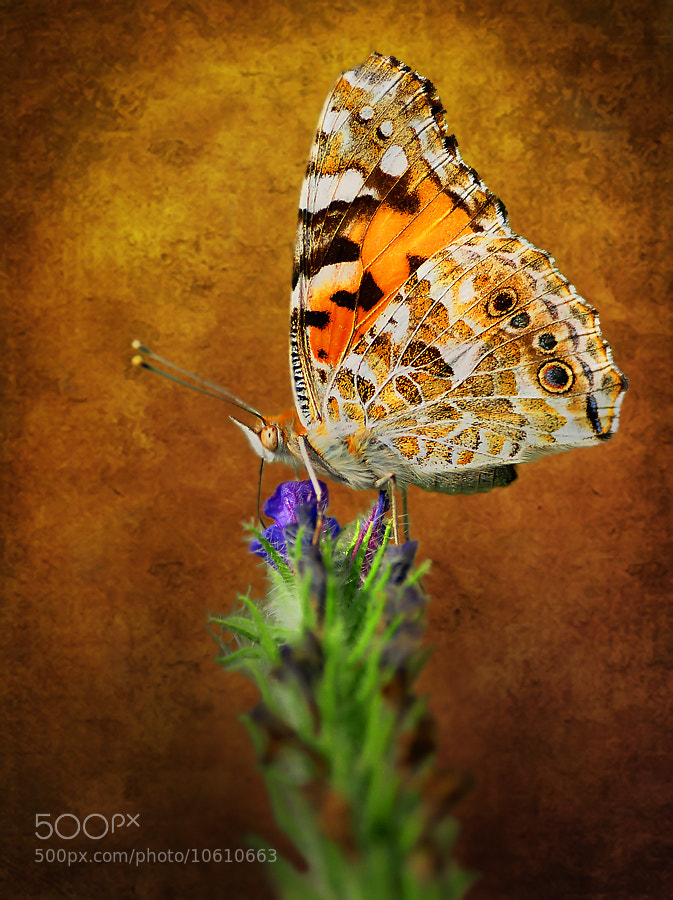 Photograph Vanessa cardui. by Mustafa Öztürk on 500px
