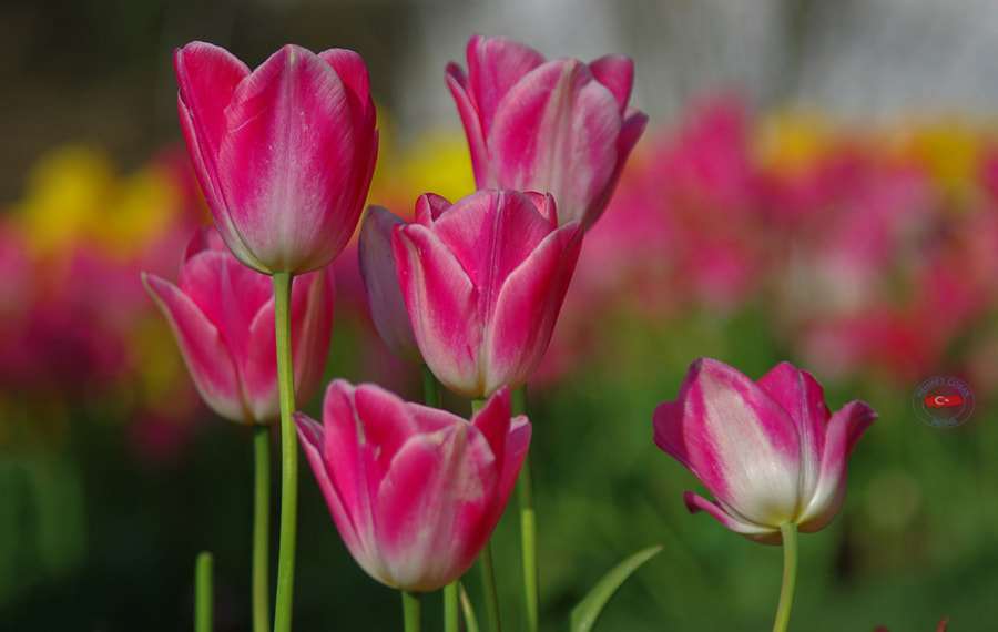 Photograph Beautiful tulip flowers by Mehmet Çoban on 500px