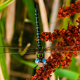 Green Darner by Harold Begun (HaroldBegun)) on 500px.com