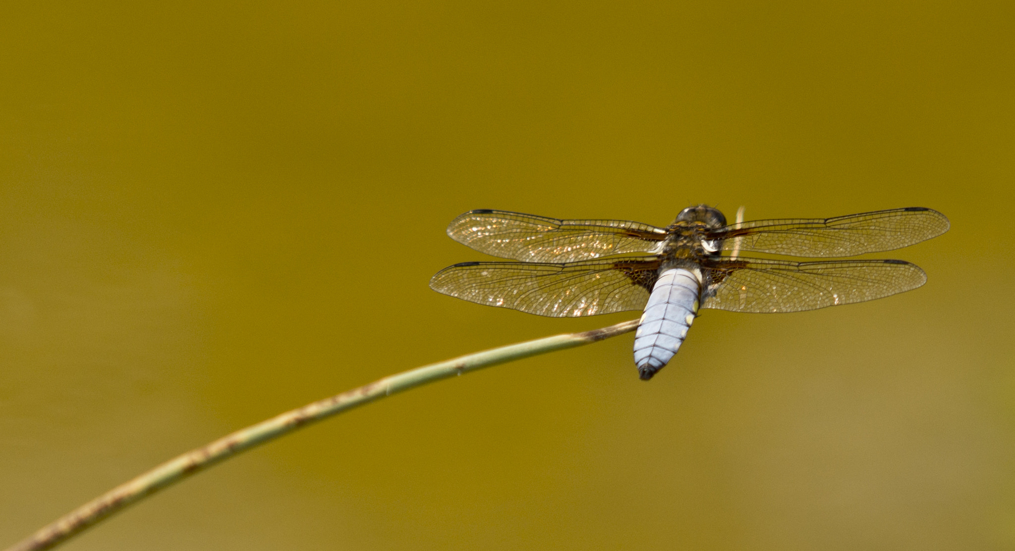 Photograph Male broad bodied chaser by Fay Woodford on 500px