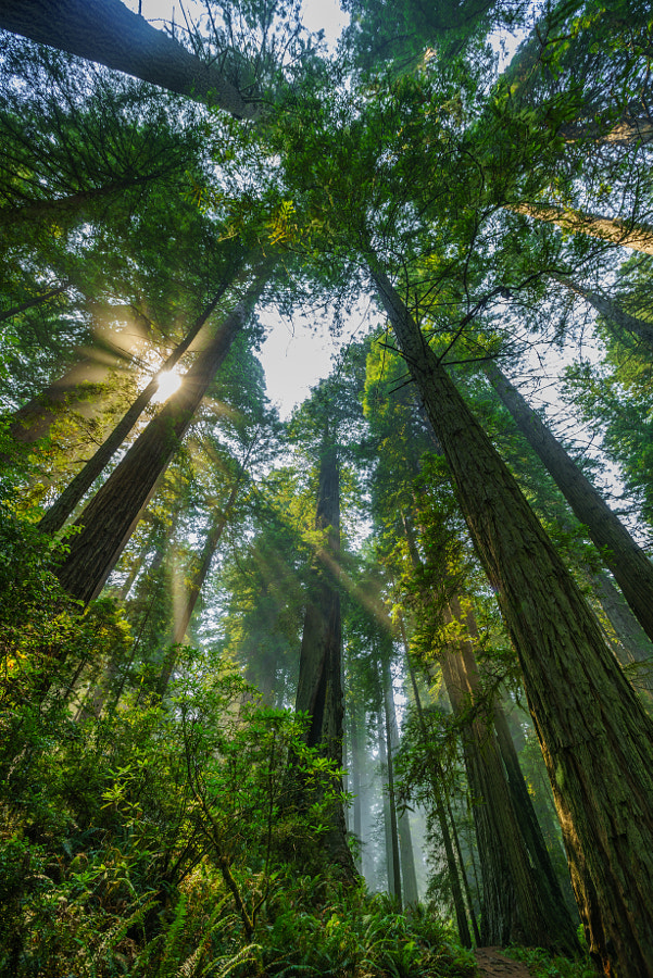 Photograph The Sun Through The Redwoods by Michael Bonocore on 500px
