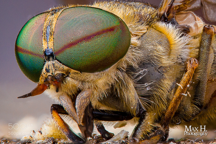 Horsefly Stacked by Max Habich (MaxHabich) on 500px.com