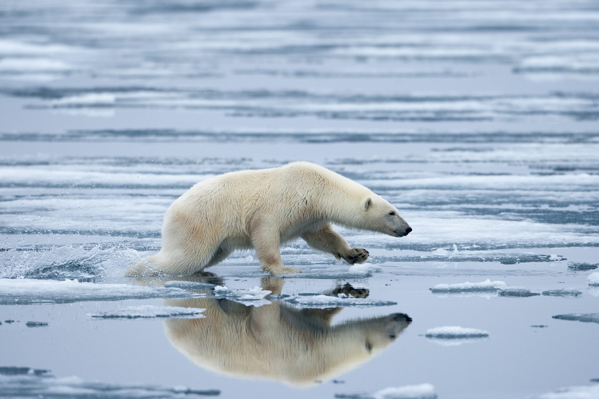 Photograph Polar Bear on Melting Ice, Svalbard, Norway by Paul Souders | WorldFoto on 500px