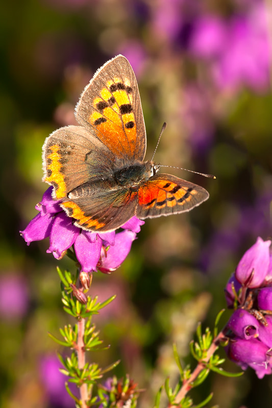 Photograph Small Copper by Parrish Colman on 500px