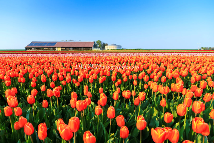 Photograph Orange Tulips by Dennis van de Water on 500px