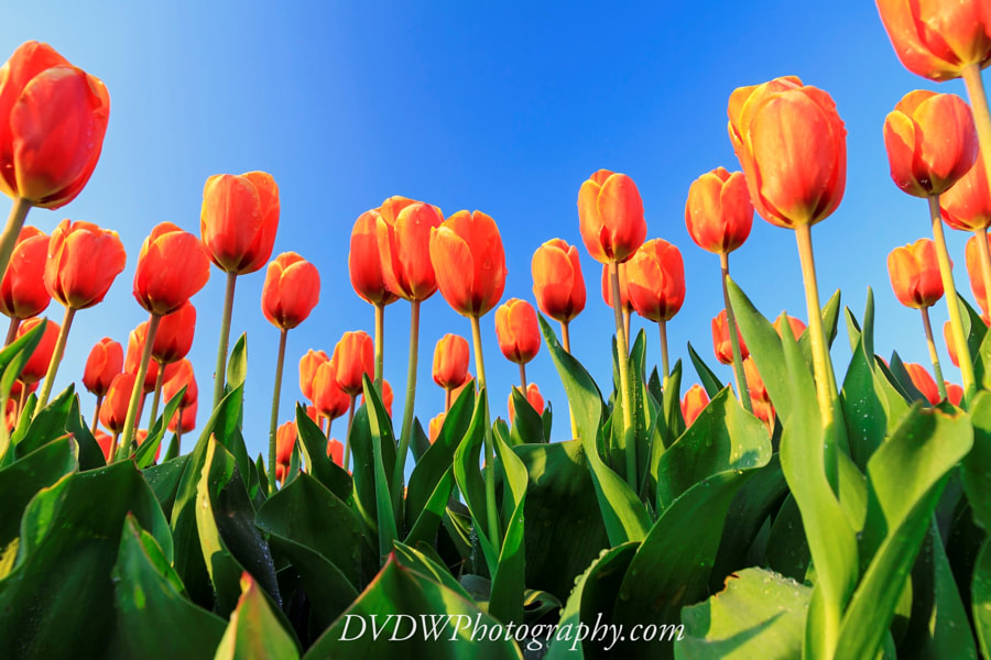 Photograph Dutch Tulips by Dennis van de Water on 500px