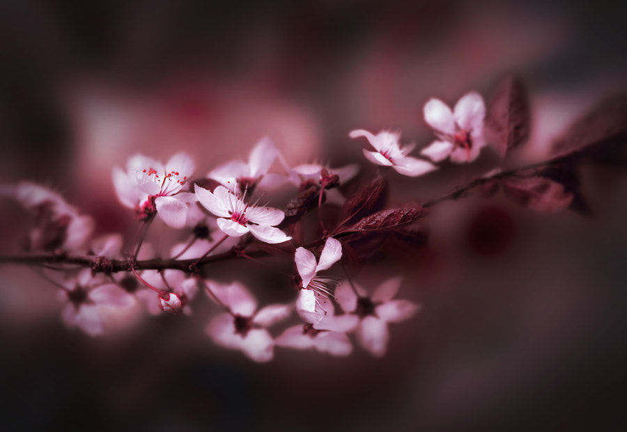 Photograph Cherry blossom by Gabriele Wahl on 500px