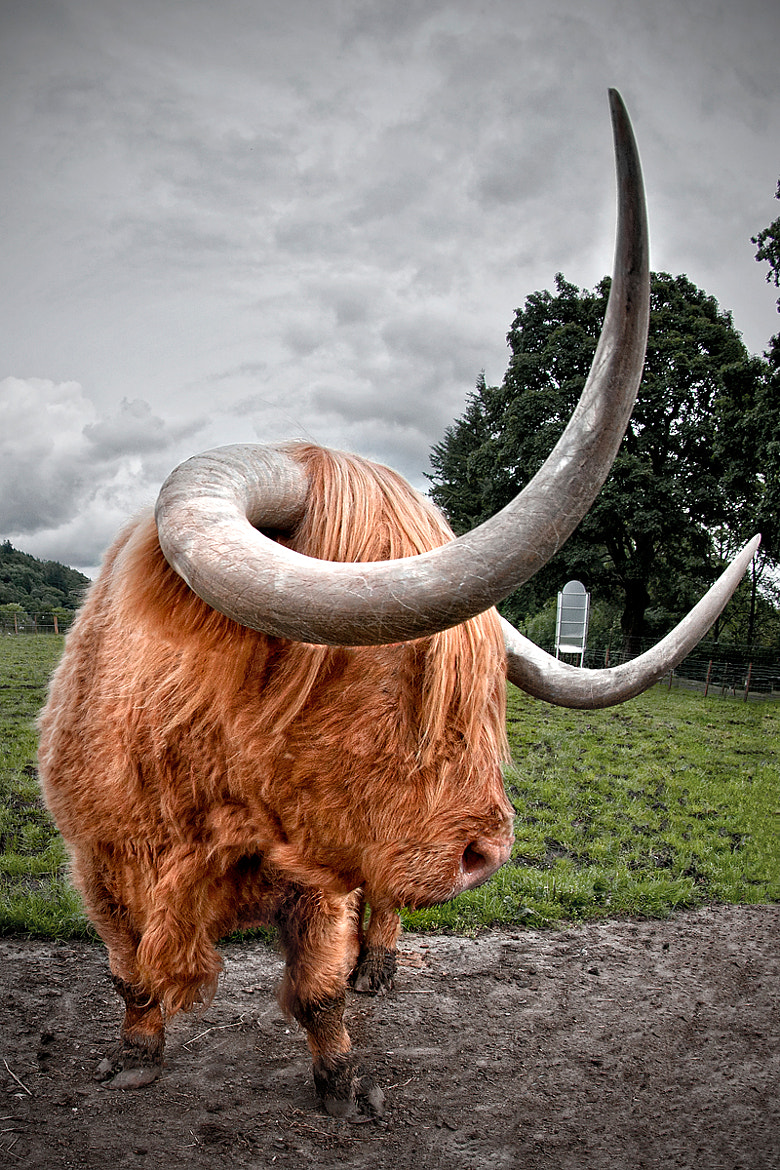 Photograph Highland cattle by Sebastian Lögering on 500px