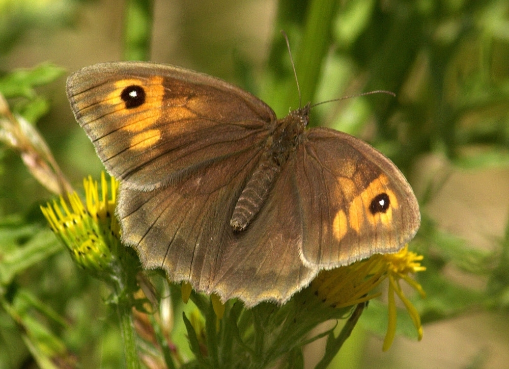 Photograph Meadow Brown Butterfly by Chrissie Barrow on 500px