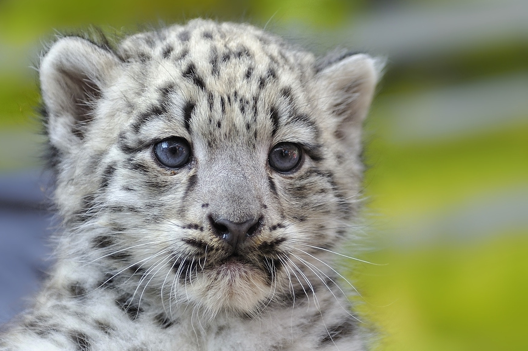 Photograph Snow Leopard - 6 weeks old by Josef Gelernter on 500px