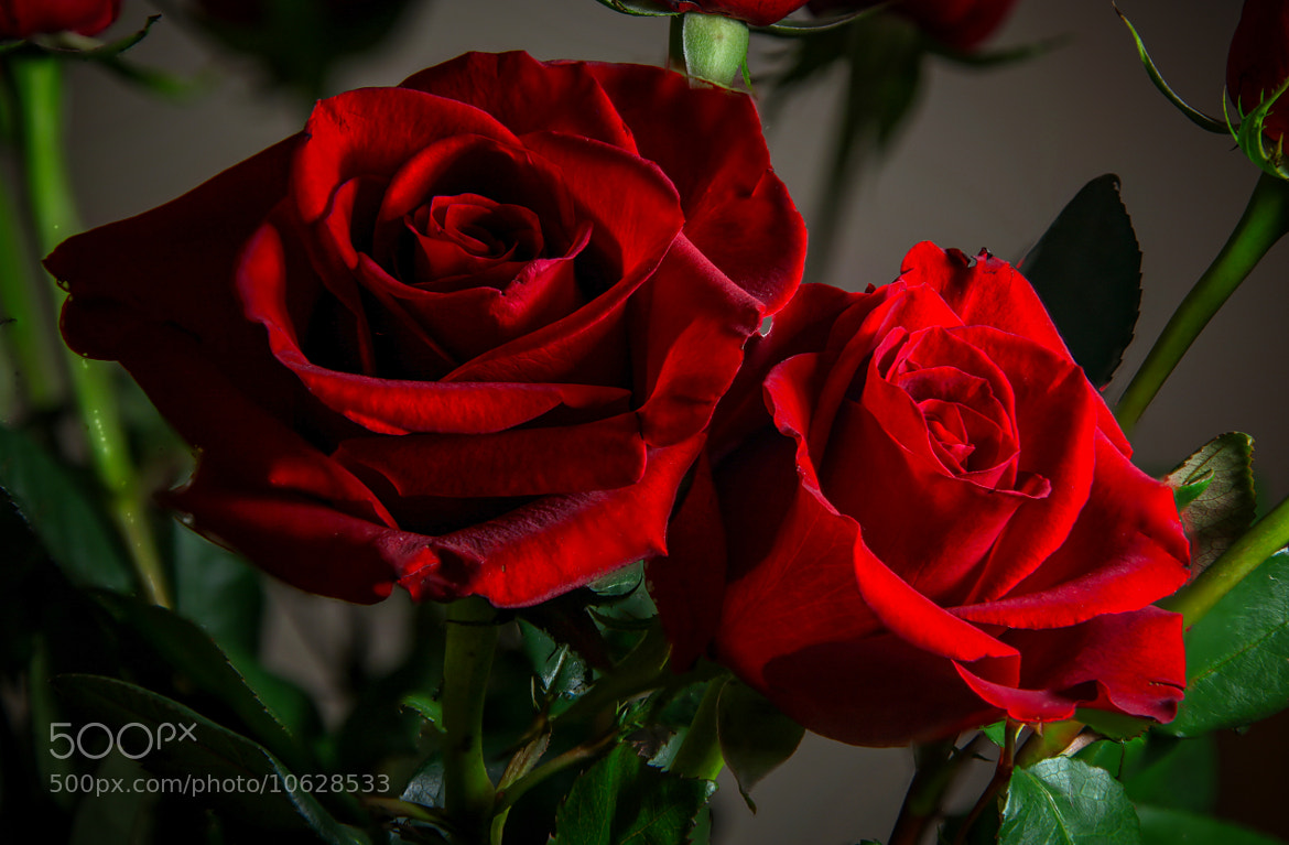 Photograph Rose  by Mike Howe on 500px