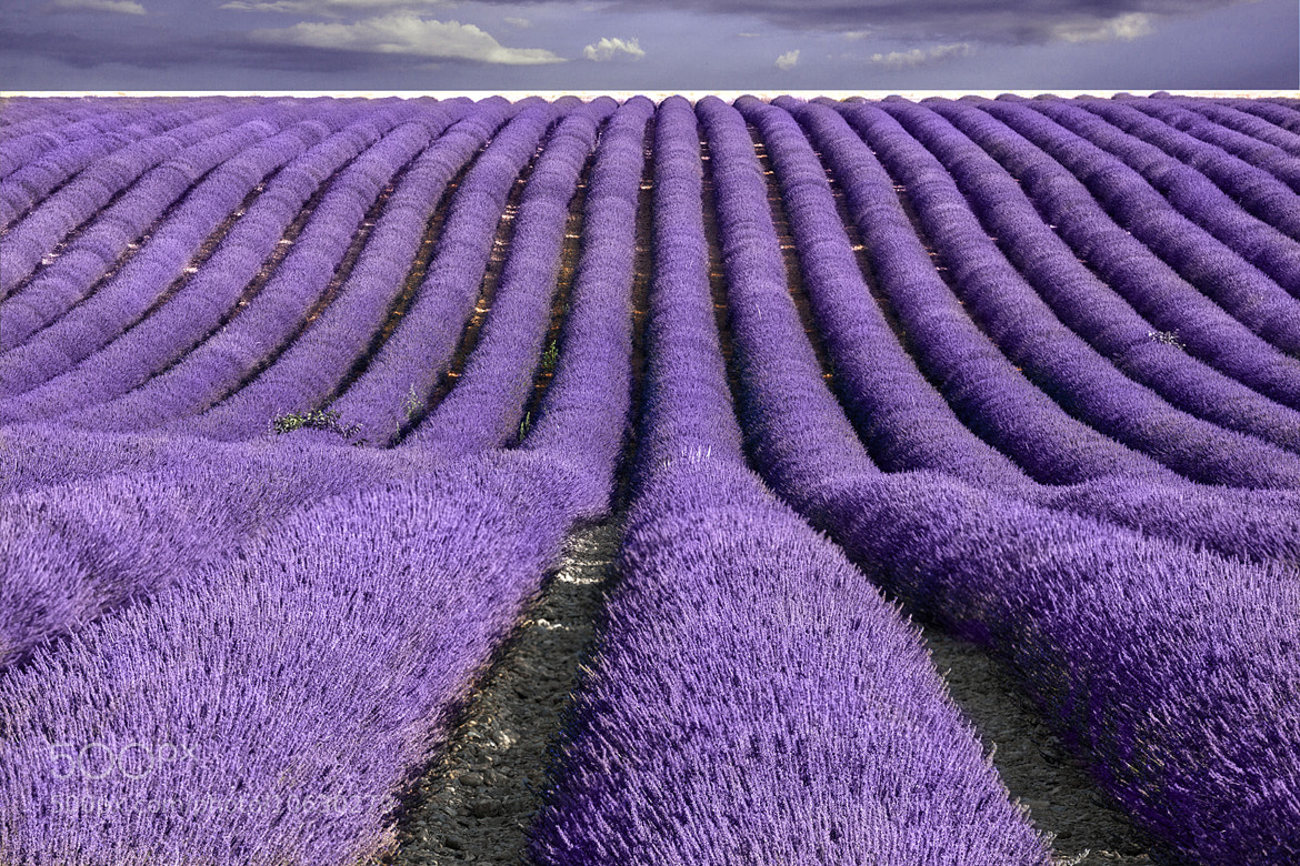 Photograph Provence lavender by Marco Carmassi on 500px