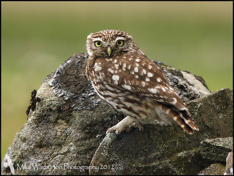 Photograph Little Owl by Mike Warburton on 500px