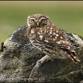 Little Owl by Mike Warburton (Mike-Warburton)) on 500px.com