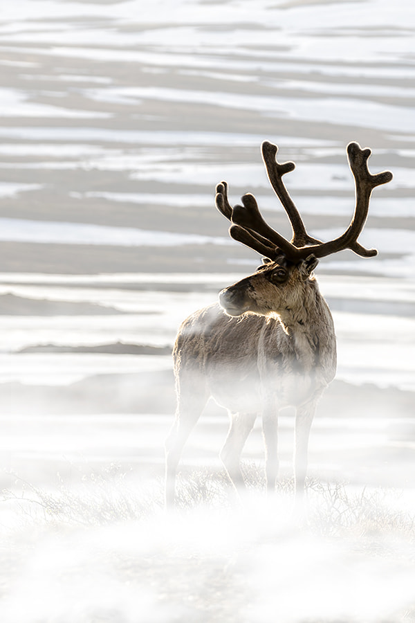 Photograph Reindeer in the cold. by Michel Kant on 500px