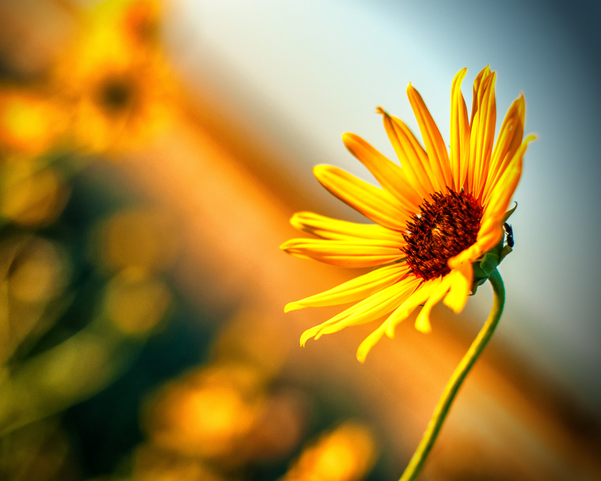 Photograph Kansas Flower by J. Rockwell on 500px
