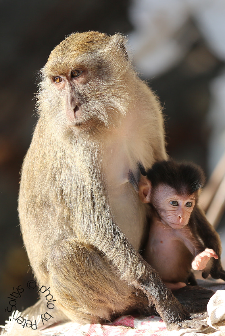 Photograph monkey by Peter Soltys on 500px