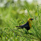 """Early morning sun strikes a Yellow-headed Blackbird amongst the Scotch broom teigs and seed pods at Iona.  """"During the breeding and nesting season the males are very territorial and spend much of their time perched on reed stalks and displaying or chasing off intruders. This bird's song resembles the grating of a rusty hinge."""" -- Wikipedia"""