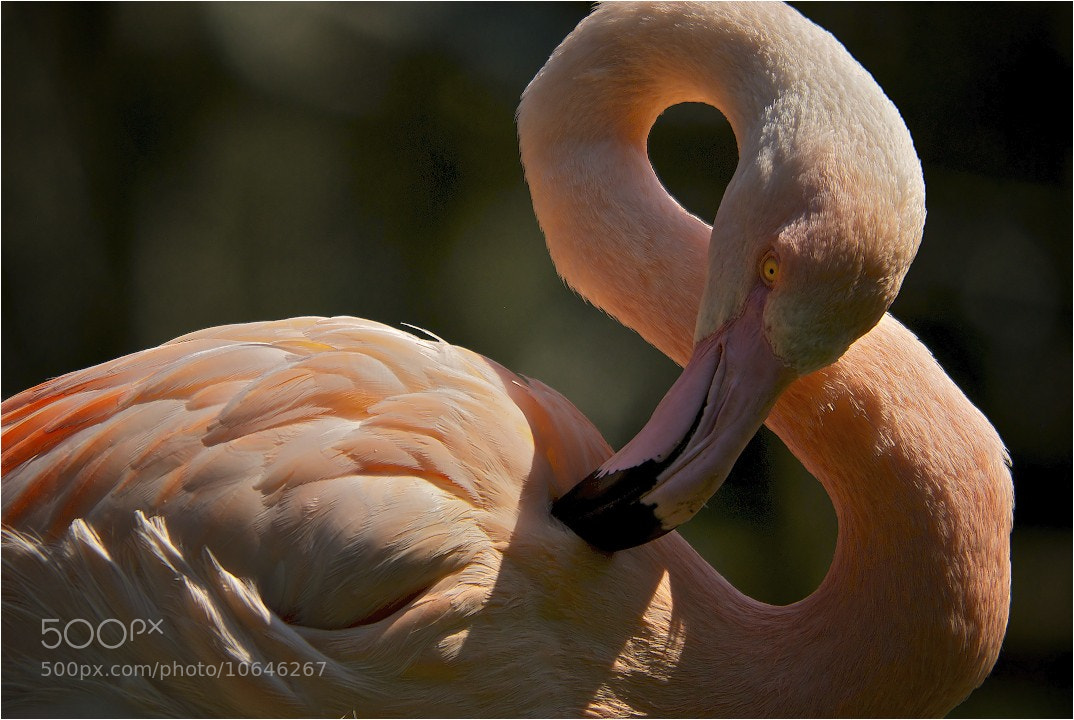 Photograph Flamingo by John Barker on 500px