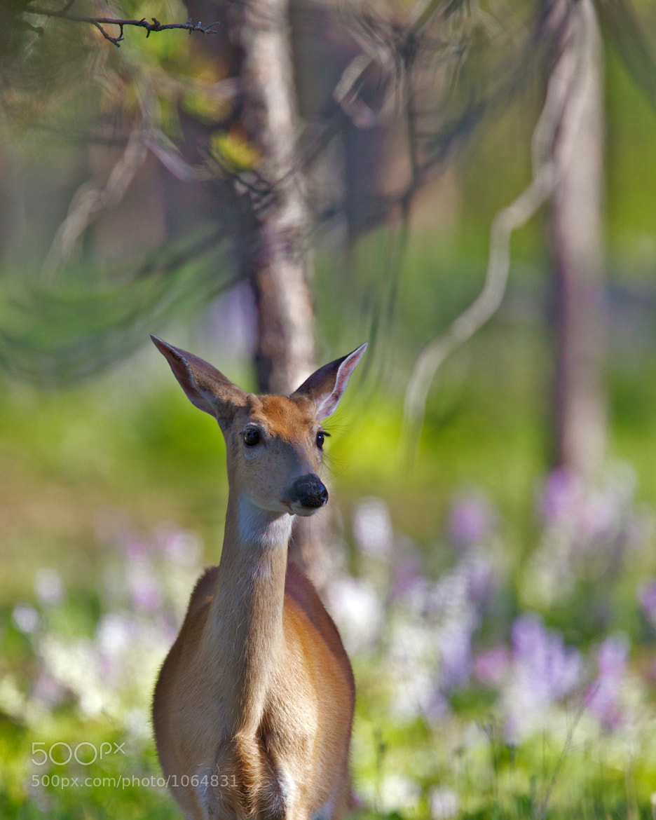 Photograph Young Whitetail Buck by Daryl L. Hunter on 500px