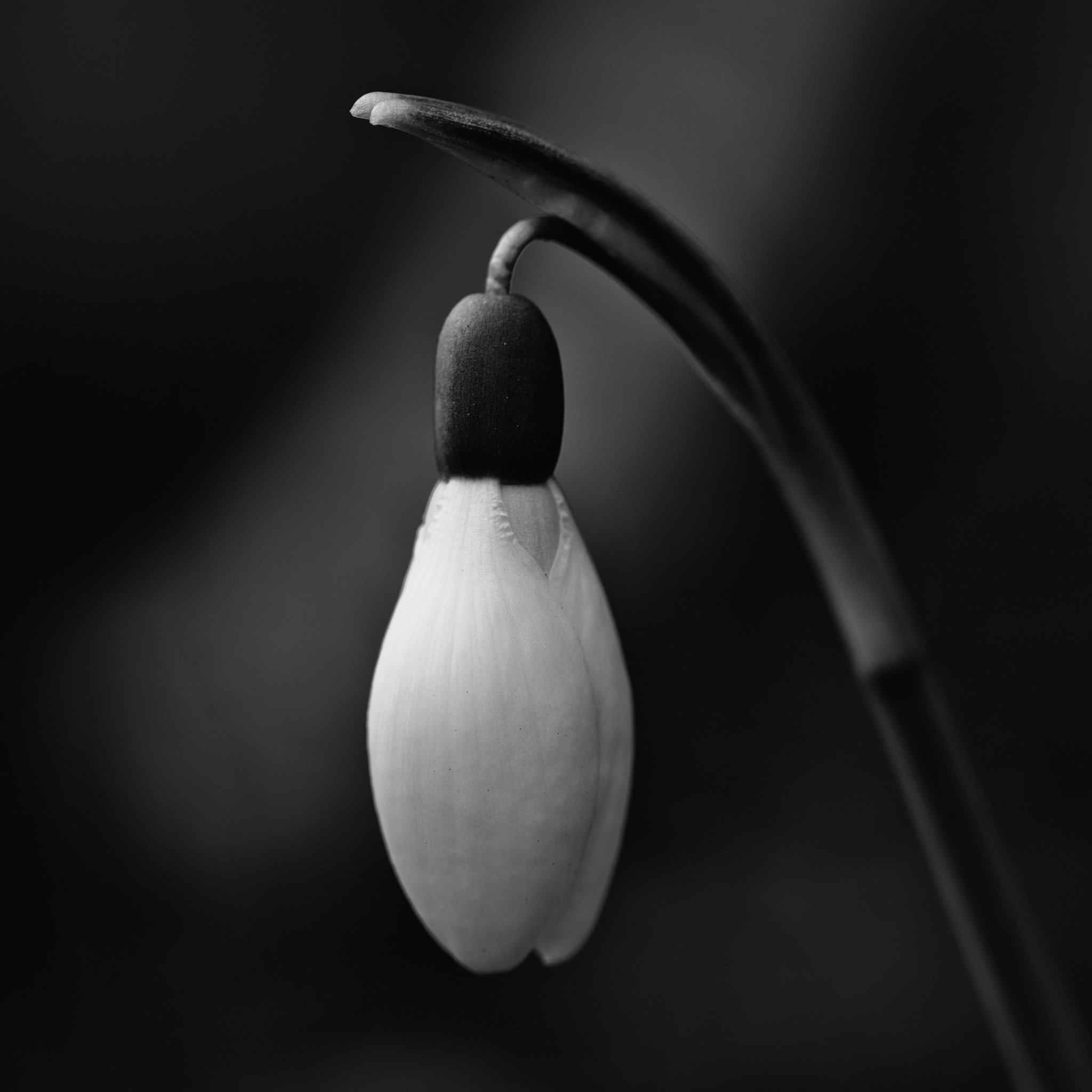 Photograph Snowdrop by Peter Giger on 500px