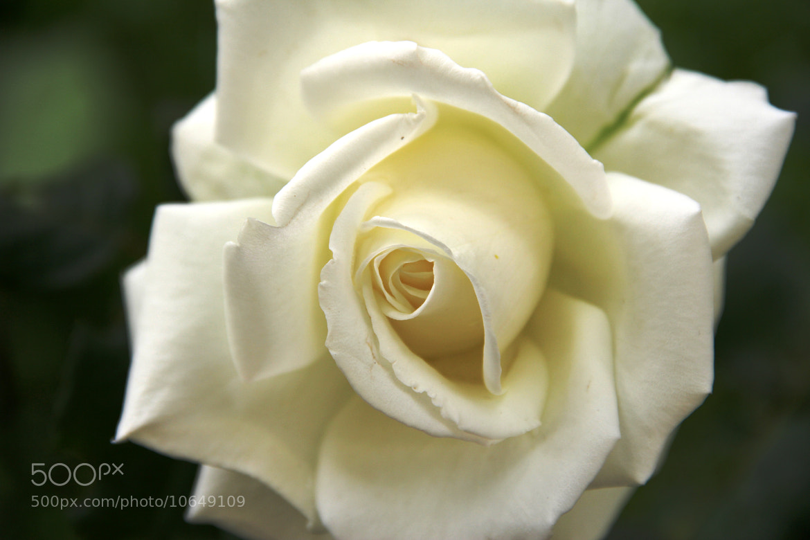 Photograph White rose by Armen Gh on 500px